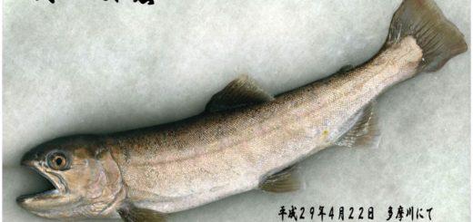 尺越え山女魚42cm釣る!